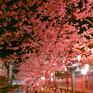 木屋町通桜並木